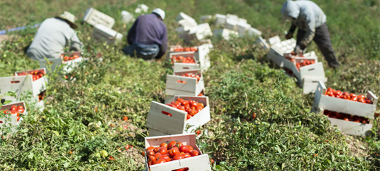 Tomato pickers working in the field